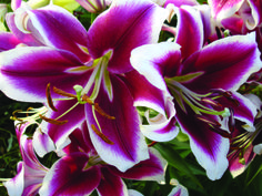 """""""Flashpoint - Orienpet Hybrid Lily.  When you see this beauty in bloom for the first time the """"explosion"""" of color will stun you!   In the propagation field they run 3 to 4 feet. We expect this to top out at around 6 feet when settled in. July bloom."""""""