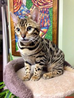 Pickles Guarding His Tower From The Baby Snow Bengal Below. - http://cutecatshq.com/cats/pickles-guarding-his-tower-from-the-baby-snow-bengal-below/