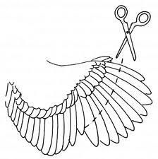 How to clip a chicken's wings so they don't fly over the fence.