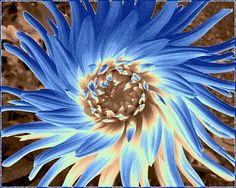 A stunning 'Blue Dahlia Abstract' art design presented as a digital painting with a border. Would look terrific as a framed print in a variety of spaces- why not treat a friend, a family member or even yourself to this very unique and upbeat piece of art. Terrific for a range of products, all of which are listed right here. Shopping from home is so easy and convenient!