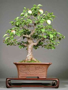 This is a 14 year old Flowering Apricot Bonsai. It stands only 17 inches tall.