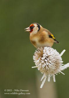 Goldfinch on a frozen teasel
