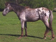 The Walkaloosa horse is a horse that performs an intermediate ambling gait besides the trot. Simply stated, they are a gaited horse with Appaloosa patterning. The gaited horse with leopard patterning has been documented in history for hundreds, even thousands of years.