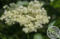 #Cosmos in the #Garden - #Elderflower #Liqueur #Recipe - http://www.jarekrak.com/1/post/2013/06/elderflower-liqueur.html #flowers #recipes #annuals