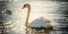 Swan – Spirit Animal, Symbolism and Meaning