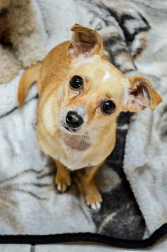 Wolfie is a sweet 1.5 year old Chihuahua/Dachshund mix that's looking for his forever home. He's already current on vaccinations, neutered, and will be microchipped upon adoption. Stop by our Southwest Adoption Center to meet him and his wonderful...