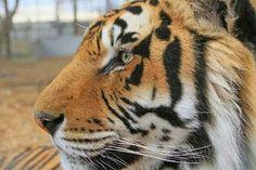 Olhar do tigre