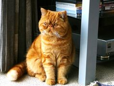 Charlie is a Red Tabby exotic shorthair Persian. If you like Persians and their flat faces, the shorthaired Persian is great as it is much easier to look after than the longhaired Persian.