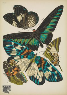 https://flic.kr/p/DzdXTh   n24_w1150   Papillons;. Paris,Tolmer[ca. 1925]. biodiversitylibrary.org/page/48852973