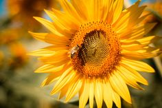 Sunflower with a Bee Acrylic Tray by Wall_Art_Town - Medium 15 x Wallpaper Pc, Original Wallpaper, Nature Wallpaper, Flower Close Up, Sunflower Wallpaper, Most Beautiful Wallpaper, Great Backgrounds, Close Up Photography, Latest Hd Wallpapers