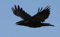 ravens in flight | Raven in flight