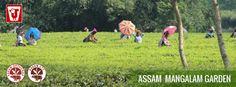 Assam Mangalam Tea Estate