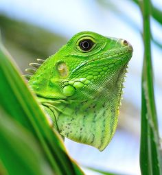 I remember when Dylan got his baby iguana, it was a fluorescent green. Radioactive natural color. Beautiful