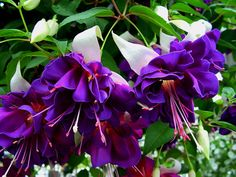 6 Patio Plug Plants Fuchsia Trailing Dark Eyes for sale online Beautiful Flowers Garden, Amazing Flowers, Pretty Flowers, Beautiful Gardens, Freesia Flowers, Lavender Flowers, Purple Flowers, Zone 10 Plants, Fuchsia Flower