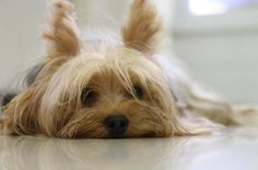 Yorkshire Terrier Hears a Sound!