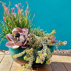 Cool Container Gardens - Texture play (Sunset Magazine) -- Love the colors! This mix of (counter-clockwise, from top left) Kangaroo paws, Echeveria 'Afterglow', Adenanthos cuneatus 'Coral Drift', and Sedum reflexum provides a daring blend of textures. Succulents In Containers, Container Plants, Planting Succulents, Container Gardening, Planting Flowers, Succulent Plants, Succulent Ideas, Cactus Plants, Container Design
