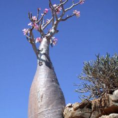 Adenium obesum is a species of flowering plant in the dogbane family, Apocynaceae, that is native to the Sahel regions, south of the Sahara (from Mauritania and Senegal to Sudan), and tropical and subtropical eastern and southern Africa and Arabia. Common names include Sabi star, kudu, mock azalea, impala lily and desert rose.