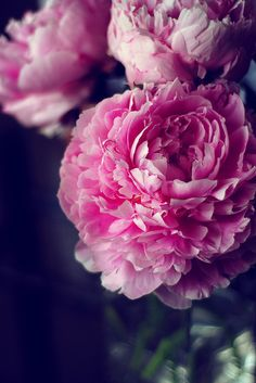 Peonies! My favorite flower and they smell SO good!! Hint hint husband!