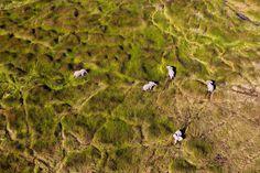 African Elephants in the floodplain, Okavango Delta, Botswana. The Okavango Delta is home to a rich array of wildlife. Elephants, Cape buffalo, hippopotamus, impala, zebras, wildebeest, lions leopards, cheetahs and crocodiles are just some of the animals there.