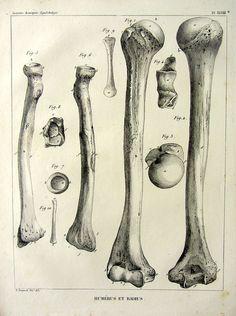 1852 gravure antique de lanatomie du squelette de bizarrerie bras et FOREAR OS, membre supérieur vintage rayon de lhumérus, lOS ostéologie.