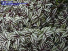 Wandering Jew, (Tradescantia zebrina) This was my first plant.  It started my obsession!  So easy to grow/propagate.  Practically impossible to kill.  I still love them.