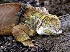 Galapagos wildlife: A land iguana carrying a lava lizard on its back