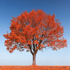 Autumn Fantasy Maple Grows Quickly And Is Dependable In The Landscape It Almost
