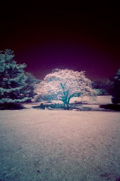 Sakura by infrared photography