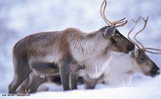 reindeer reindeer - WOW.com - Image Results