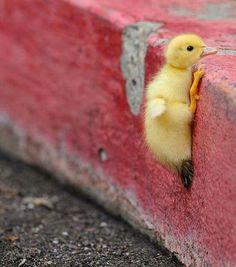 Little duck climbing up curb