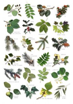 British Tree Leaves Identification Chart Nature Poster in Art, Posters, Contemporary Trees And Shrubs, Trees To Plant, Botanical Illustration, Botanical Prints, Tree Leaves, Plant Leaves, Tree Tree, Tree Leaf Identification, Nature Posters