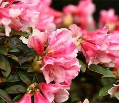 Frank Fujioka Rhododendrons | 2010 Rhododendron of the Year Awards - Northwestern USA