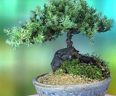 Juniper Bonsai Tree -- I love bonsai trees! I want a forest of them! (so I can walk around and feel like a giant lol)