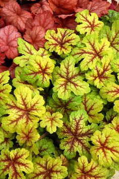 Tall red perennial flowers shades of burgundy in the garden common name foamybells alabama sunrise botanical name heucherella alabama sunrise what it is a shade preferring perennial flower with mightylinksfo Gallery