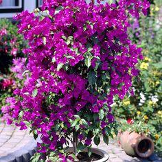 Ihmeköynnös lila - Viherpeukalot