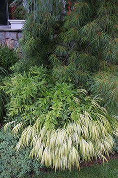 Plantings at the Entry Pinus Strobus pendular, Hakonechola, Juniperus procumbens 'Nana', Leucothoe