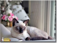 Read Simba the Siamese mix's story from Santa Clarita, California and see his photos at Cat of the Day http://CatoftheDay.com/archive/2013/December/31.html .