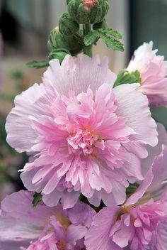 Flower Seeds For Sale Hollyhock Logro Lilac
