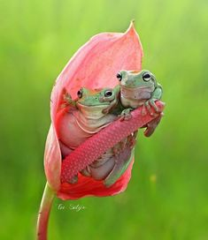 Portofolio Fotografi Makro - The Magical Macro World Of Tiny Creatures That I Capture In Indonesia Nature Animals, Animals And Pets, Baby Animals, Funny Animals, Cute Animals, Funny Frogs, Cute Frogs, Frog Pictures, Animal Pictures