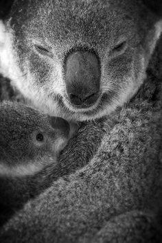 Koala and baby joey!!