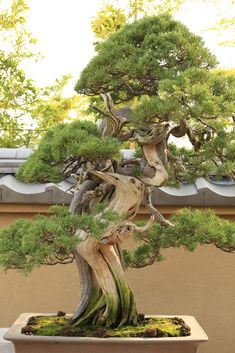 Shimpaku (Japanese Juniper) - bonsai museum