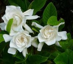 Gardenia care in Florida - http://www.floridalandscapingtoday.com/gardenia-care-for-florida-landscaping/