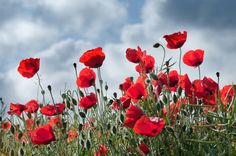 Poppies for Veteran's Day - Georgianna Lane Calgary, Japanese Flowers, Garden Photos, Red Poppies, Dream Garden, Oeuvre D'art, Flower Power, Peonies, Beautiful Flowers