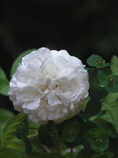 Rosa 'Blanc de Vibert' (France, 1846)