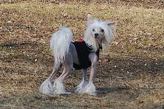 Tiger: Chinese crested dog (hairless)