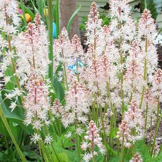 Stephanie Cohen Foamflower. Blooms April to June. Zone 5 shade plant. Drought resistant.