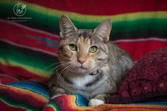 Late night post for young Kitty. I met her about a month ago at Renbury and had the pleasure of meeting her again this weekend when I photographed her for her adoption profile with Sydney Animal Second-chance Inc. Kitty is a playful girl and still very ki | by Jo Lyons Photography