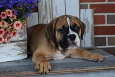 Beabull Puppies for Sale | Lancaster Puppies