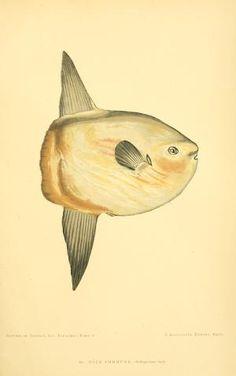 3 - Les poissons : - Biodiversity Heritage Library