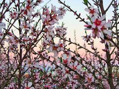 Almendros en flor.Coín.España.